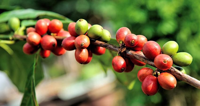 Grüner Kaffee: Genußvoll gesund und schlank werden!