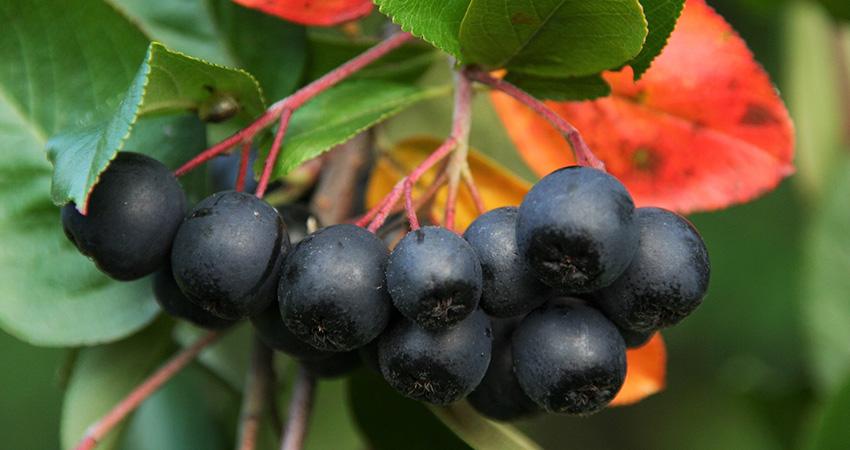 Aroniabeeren: Kleine Beeren mit großer Heilkraft!